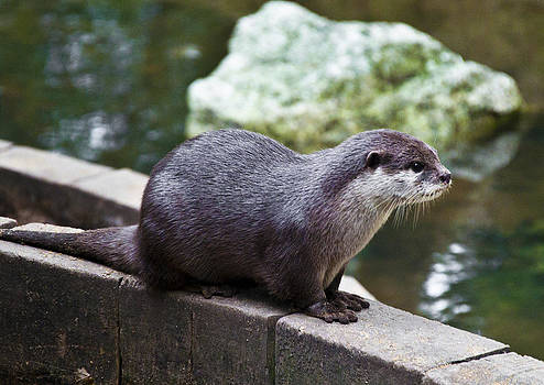 Asian Otter by Paul Howarth