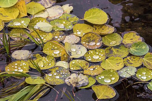 Aspen Drops by Darrell E Spangler
