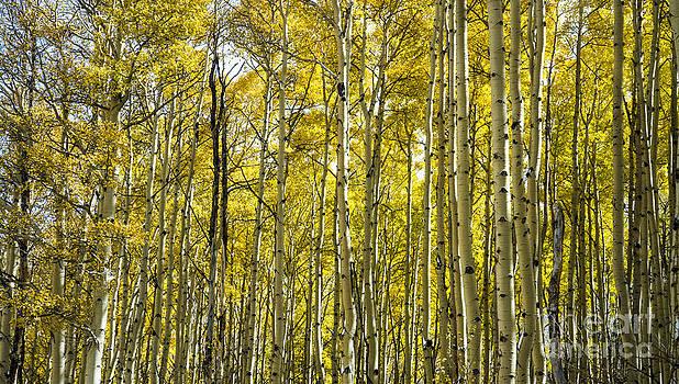 Tim Mulina - Aspen Forest