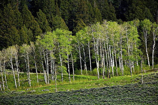 Aspen Grove by Bruce Colin