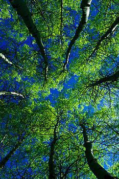 Aspen Grove by Susie Hoffpauir
