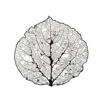 Aspen Leaf Skeleton 1 by Agustin Goba