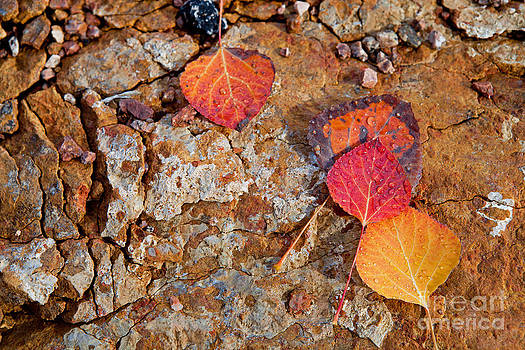 Aspen Leaves on Rock by Barbara Schultheis