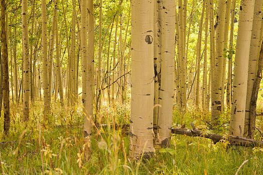 Aspen Meadow by Dawn Morrow
