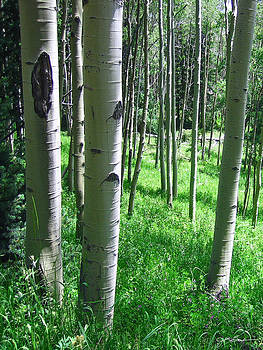 Julie Magers Soulen - Aspen Tree Forest in Colorado