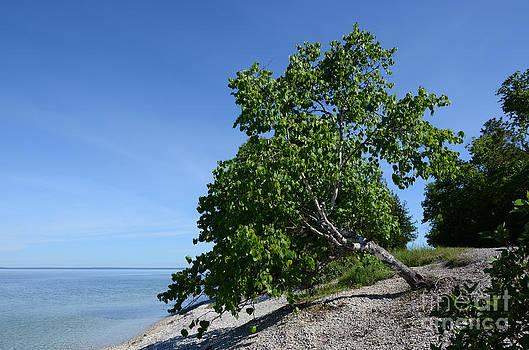 Aspen tree on Mackinac Island by Susan Montgomery