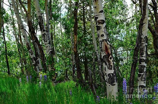 Aspen Trees by Crystal Miller