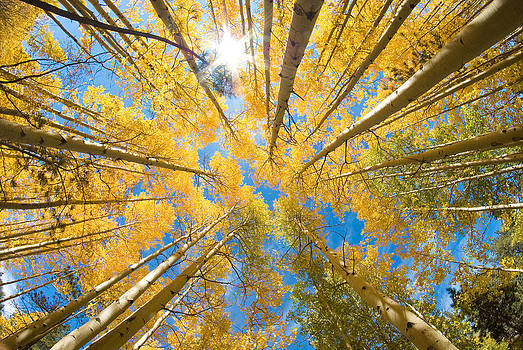 Aspen Trees Looking Up by John Hoffman