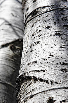 Aspen Trunks in Light and Shadow by Lincoln Rogers