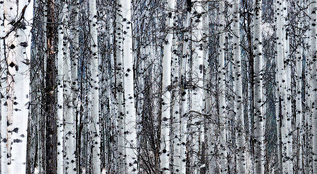Aspens - Frost and Snow by J Foster Fanning