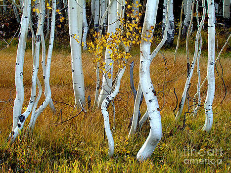 Aspens in Fall by Eva Kato