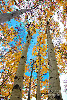 Aspens by Jeff Loh