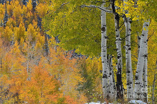 Aspens by Krissy Small