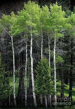 Aspens of Yellowstone by E B Schmidt