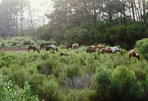 Assateague Herd by Joann Renner