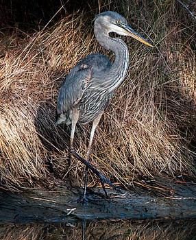 Lara Ellis - Assateague Island Great Blue Heron