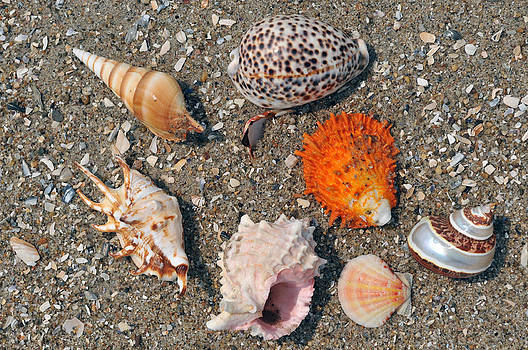Assorted exotic seashells on the sand  by Anton Oparin