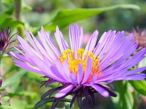 Aster in Sun by Gene Cyr