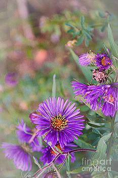 Aster Purple Flower Art by Miss Dawn