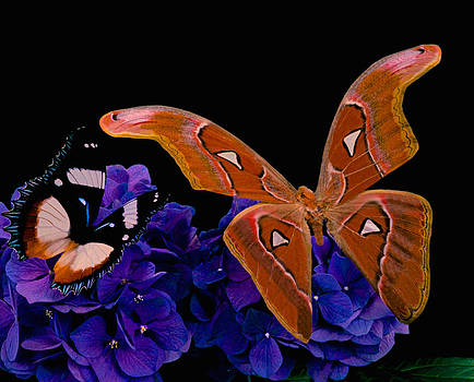 Atlas Moth Rendezvous With The Gladiator Butterfly At Midnight by Leslie Crotty