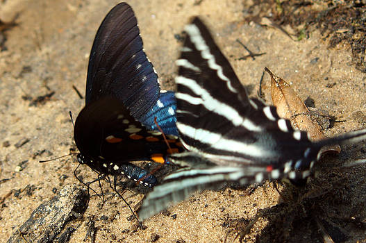 Attack of the Zebra Swallowtail butterfly by Kim Pate