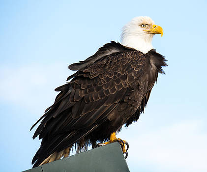 Debra  Miller - Attractive Bald Eagle