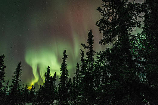 Aurora among the Trees by Roger Clifford