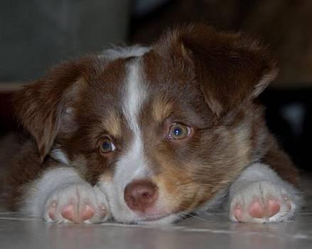 Aussie Pup by Kasie Morgan