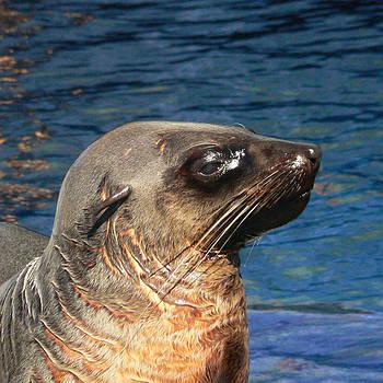Margaret Saheed - Australian Fur Seal 2