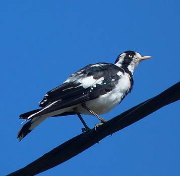 Margaret Saheed - Australian Magpie-Lark