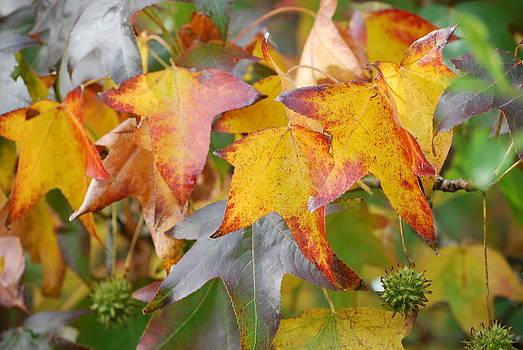 Autumn acer leaves by Jocelyn Friis