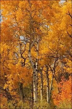 Autumn Aspens by Big Horn  Photography