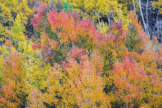 Autumn Aspens by Colleen Coccia