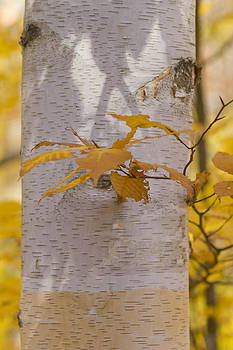 Autumn Birch by Megan Noble