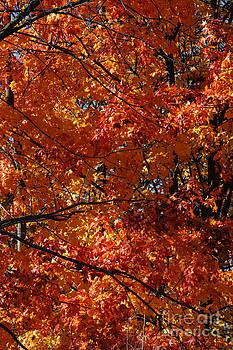 Linda Shafer - Autumn Blaze