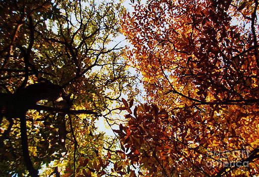 Martin Howard - Autumn Chestnut Canopy