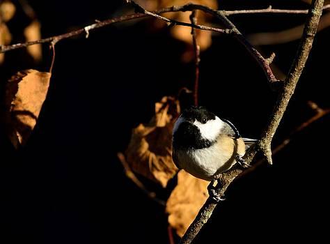 Autumn Chickadee by Glenn Sanborn
