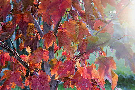 Autumn Flame by Dana Moyer