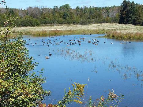 Autumn Geese Gathering by Gene Cyr
