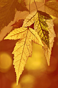 Nikolyn McDonald - Autumn Gold