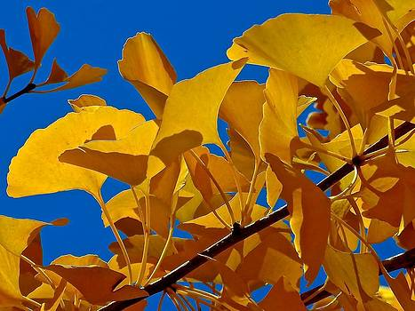 Autumn Golden Ginkgo  by Rita Mueller
