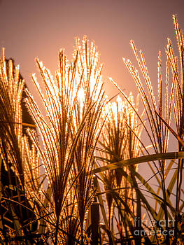 Autumn grasses by Mary Licanin