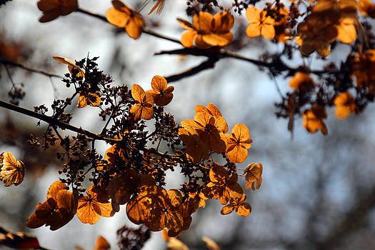 Carolyn Stagger Cokley - tardiva hydrangea