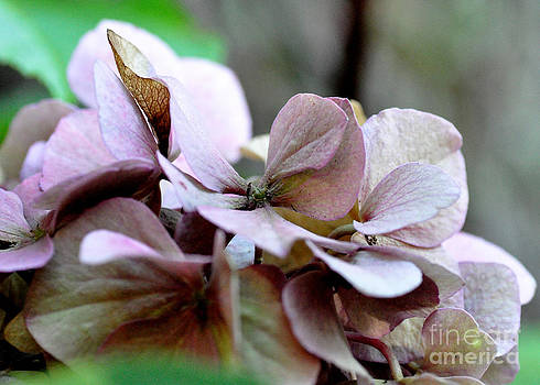 Autumn Hydrangea by Tanya  Searcy