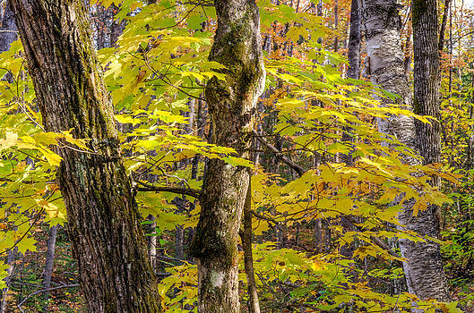Autumn in a Quebec forest. by Rob Huntley