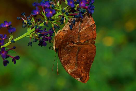 Tam Ryan - Autumn Leaf Butterfly