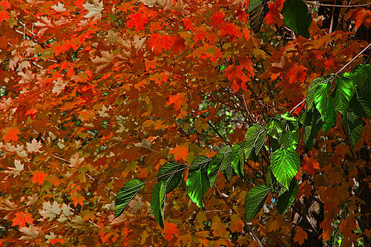 Autumn Leaves In Red And Green by Andy Lawless