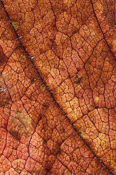 Autumn Leaves No.7 by Daniel Csoka