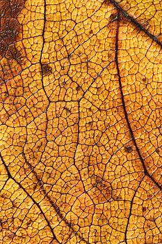 Autumn Leaves No.8 by Daniel Csoka