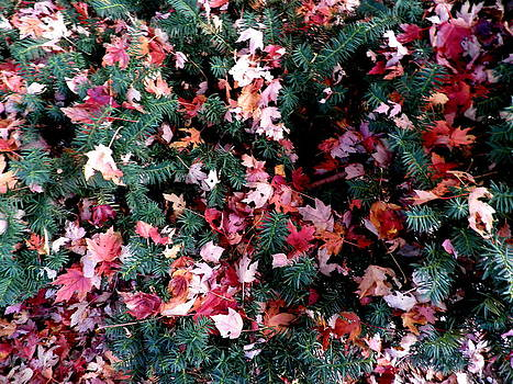 Kate Gallagher - Autumn Leaves On Evergreen Bush